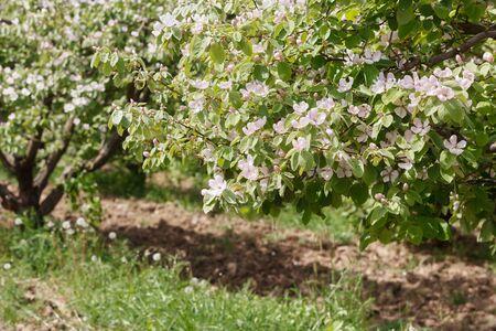 membrillo: Huerta del resorte con membrillo floreciente Foto de archivo