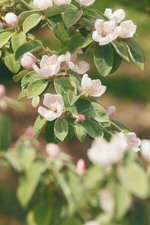 membrillo: Membrillo en Bloom