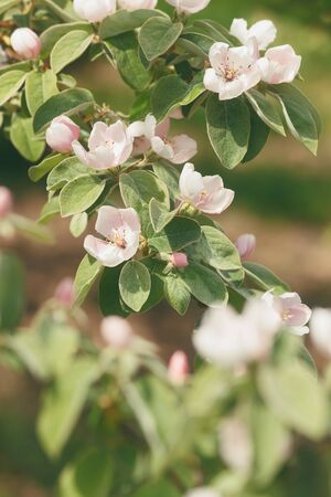 quince: Quince in Bloom