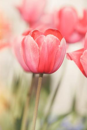 tulipan: Czerwone tulipany. Zamknij się czerwony tulipan na tle rozmazany. Miękkie i rozmycie styl tle. Sporządzono z rocznika filtrem retro. Zdjęcie z bardzo płytkiej głębi ostrości