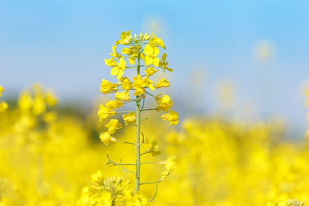 oil rape: Close up of oil seed rape blooming Stock Photo