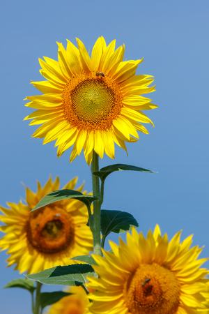 Beautiful sunflowers against blue sky and  bee gathering pollen from sunflower, elective focus