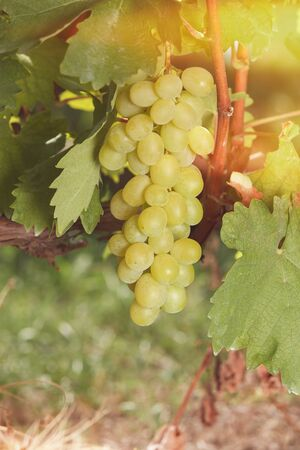 white grape: White grape. White wine grapes on the vine in sunlight. Soft and blur style for background. A photo with shallow depth of field