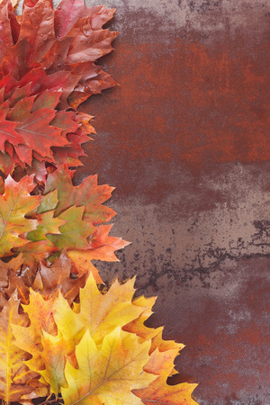rusted background: Colorful autumn oak leaves with copy space