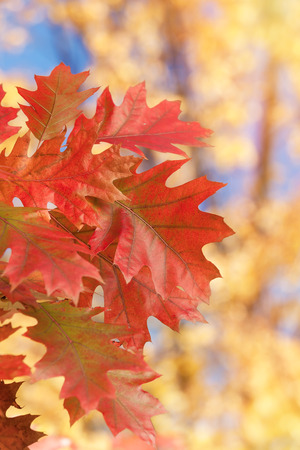 fall leaves: Autumn oak leaves, natural background. Close up of  red autumn foliage over blurred background. Soft and blur style for background. A photo with shallow depth of field