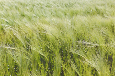 sways: Green barley plants in a field. A barley field sways gently in the wind, agricultural background