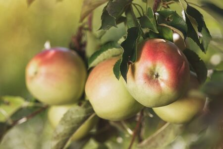 ida: Apples in the apple orchard, close up. Vintage toned image, copy space