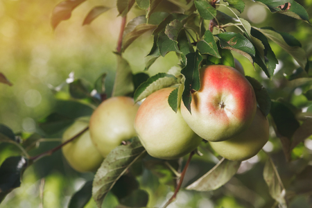 Ripe apples  hanging on apple orchard branch., close up. Vintage toned image Stock Photo