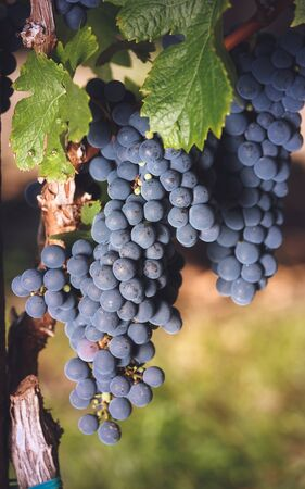 Cabernet Franc grapes on vine growing in a vineyard at sunset time. Selective focus, vintage toned image Standard-Bild