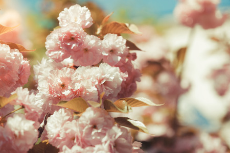 Cherry tree  full of pink flowers with blue sky on background. Selective focus, vintage toned image Stock Photo