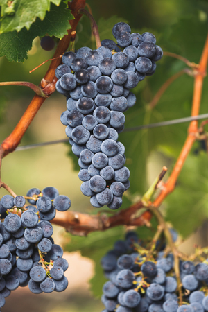 Cabernet Franc grapes on the vine, ready for harvest, selective focus Stock Photo