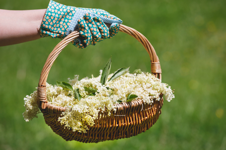 Woman Holding Freshly Picked Elderflower For Cordial Preparation, selectice focus