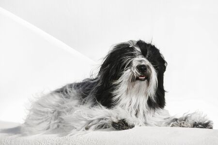 Tibetan terrier dog lying on whitewashed stone wall in Oia town, Santorini, Greece, selective focus