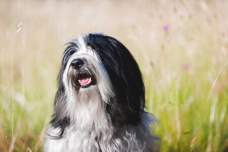 Portrait of happy Tibetan terrier dog enjoying sunlight and outdoors, selective focus Imagens