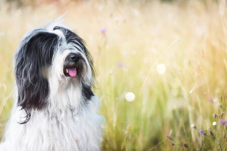 Tibetan terrier dog in a field gazing into the distance, selective focus Imagens