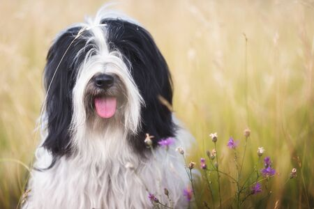 Dog in nature. Tibetan terrier dog sitting on grass in countryside  with wildflowers, close up Imagens