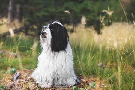 Tibetan terrier dog with a curious look and open mouth sitting on road between coniferous trees in forest, selective focus