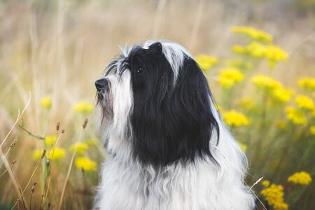 Beautiful Tibetan terrier dog or Tsang Apso, sitting in the grass looking alert, selective focus
