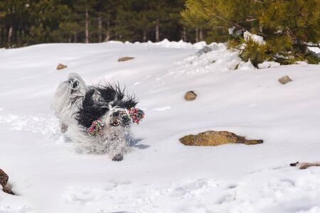 Excited dog running in the snow. Tibetan terrier dog having fun in the snow
