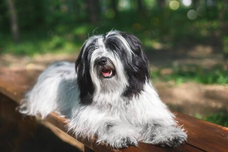 Beautiful Tibetan terrier Dog Resting On Wooden Bench In Nature, selective focus, copy space Stok Fotoğraf