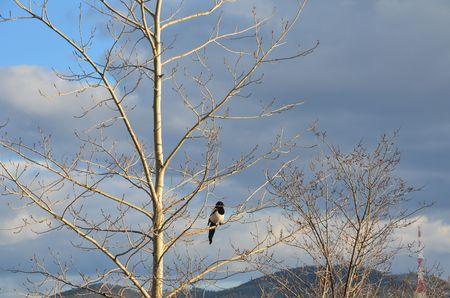 About a magpie (in autumn)