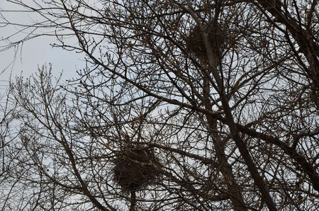 This picture shows two nests on the tree