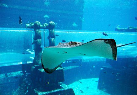 Ray in the aquarium of Atlantis the Palm  waterpark, Dubai, UAE photo
