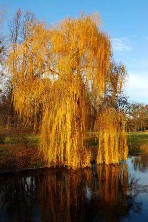 salix: Willow tree (Salix) in a park in warm colors of sunset, Olexandria Park, Bila Tserkva, Ukraine