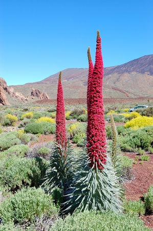 endemic: Echium wildpretii plant also known as tower of jewels, red bugloss, Tenerife bugloss or Mount Teide bugloss.  The species is endemic to the island of Tenerife, and is found mainly in Las Canadas del Teide. Tenerife island, Spain