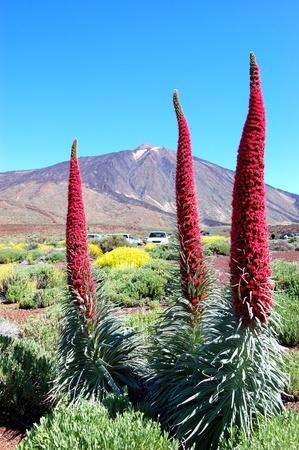 echium: Echium wildpretii plant also known as tower of jewels