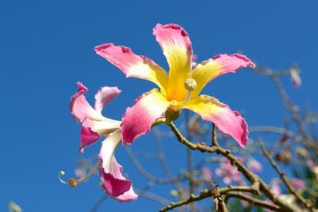 Silk Floss tree blooming flowers (Chorisia speciosa) Stock Photo