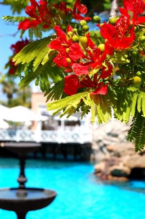 flamboyant: Flame tree with red flowers  Delonix regia  near swimming pool at luxury hotel, Tenerife island, Spain