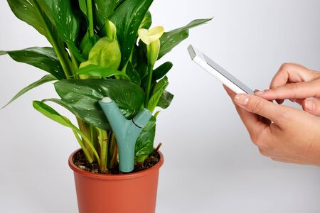 The measurement of soil moisture and fertilizer by sensor and smartphone in blooming Kalla flower potted plant