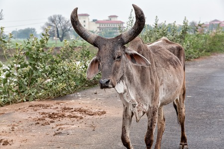Cow sacred animals india