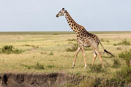 Giraffes are walking in the shroud
