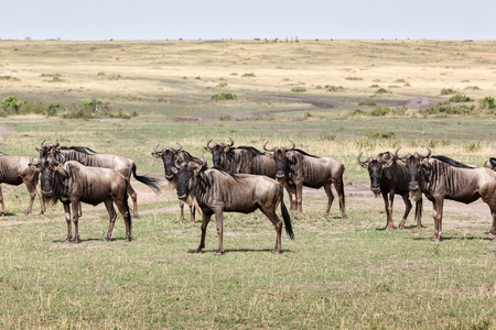Antelope wildebeest in the shroud
