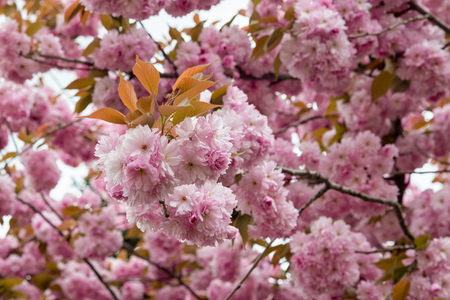 Spring flowering sakura Stock Photo