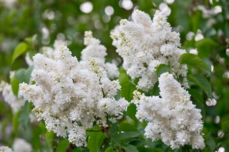 Lilac bloomed in the botanical garden