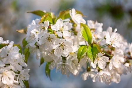 Cherry branch in flowers