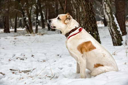 central asia shepherd dog: Adult alabai in winter day.