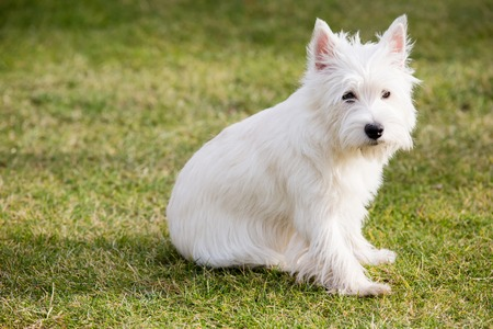 West highland whit terrier Stock Photo