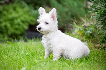 Purebred adult West Highland White Terrier dog on grass in the garden on a sunny day. Stock Photo