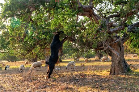 Morocco Goats on the tree leaves fall