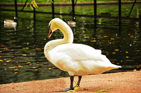 A beautiful swan is near the water looking for food