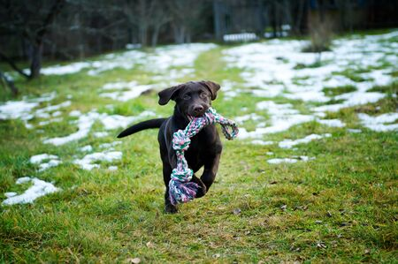 funny labrador puppy runs on the lawn with a rag toy in the mouth Banco de Imagens