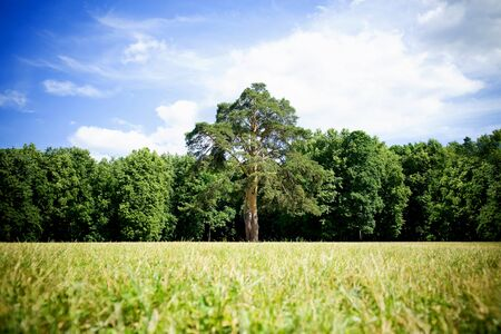 tall tree in the center of a large field against a background of lower trees 版權商用圖片