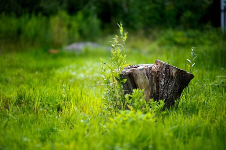 old stump in bright grass against a background of greenery in defocus in the light rain