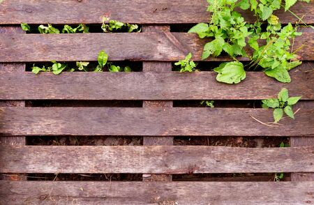 texture of a wet wooden pallet. wet pallet and wild plant growing through it
