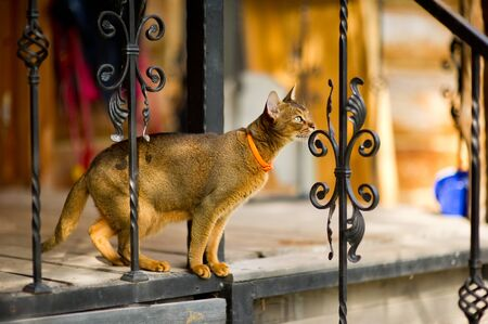an abyssinian cat stands on the edge of a porch with a metal fence and is about to jump