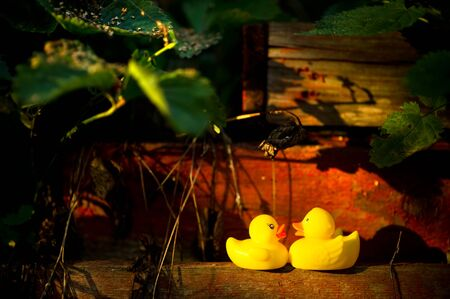 two yellow plastic ducks look at each other, standing on an old wooden structure in the garden in sunset. Copy space Imagens